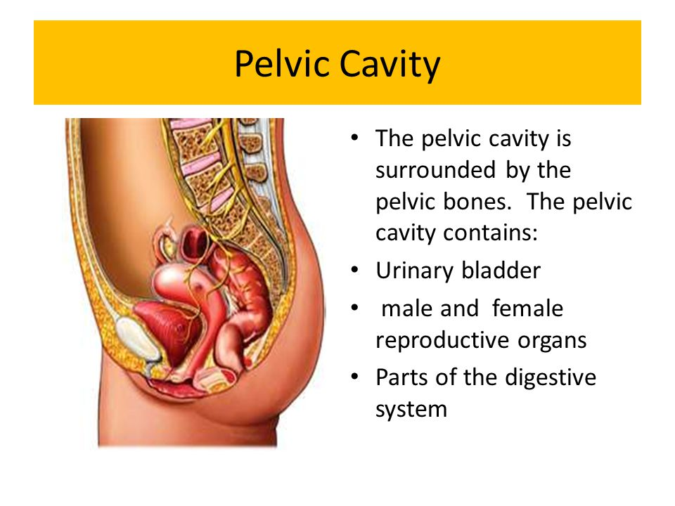 Pelvic Cavity The pelvic cavity is surrounded by the pelvic bones. The pelvic cavity contains: Urinary bladder.