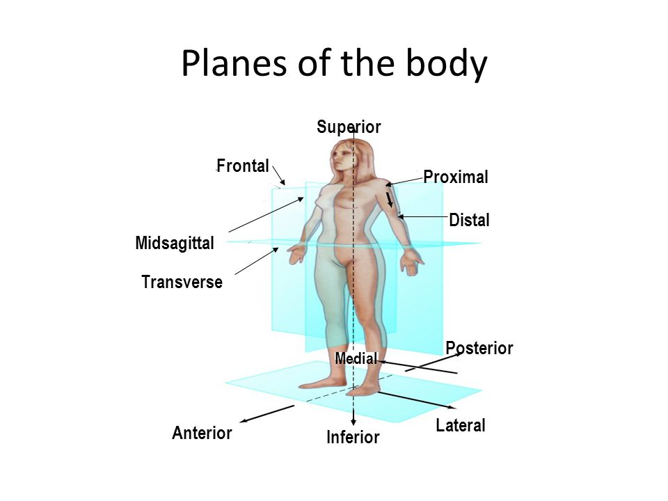 Planes of the body Superior Frontal Proximal Distal Midsagittal