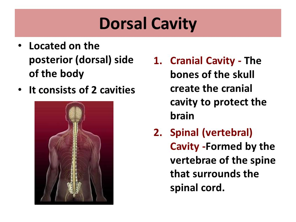 Dorsal Cavity Located on the posterior (dorsal) side of the body