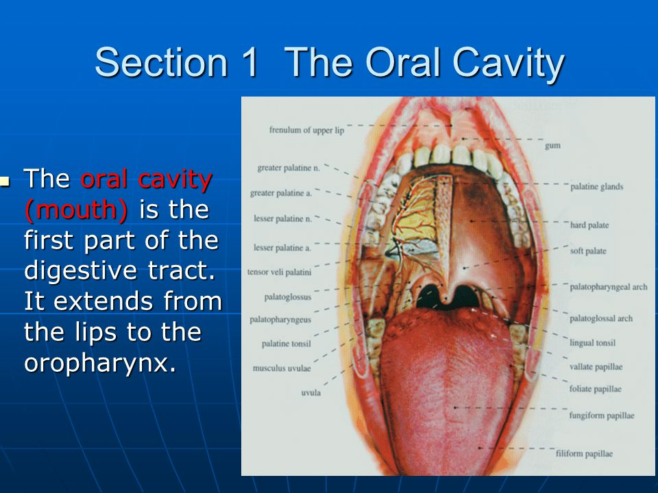 oral cavity anatomy mouth biology essay Oral biology and toot h morphology model paper (mcqs)  oral anatomy mcq2 a 20 year old man falls down and chips the incisal edgeof his  mcq32 a sample of.