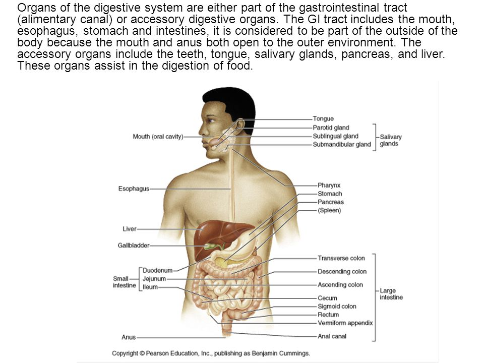 Digestive System Human Anatomy Chapter Ppt Video Online Download