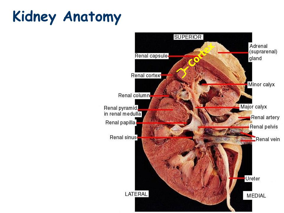 Kidney External Macro Anatomy Ppt Video Online Download