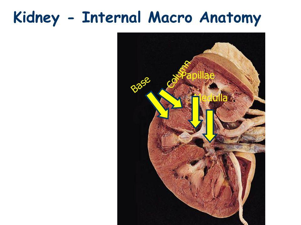 Kidney - External Macro Anatomy - ppt video online download