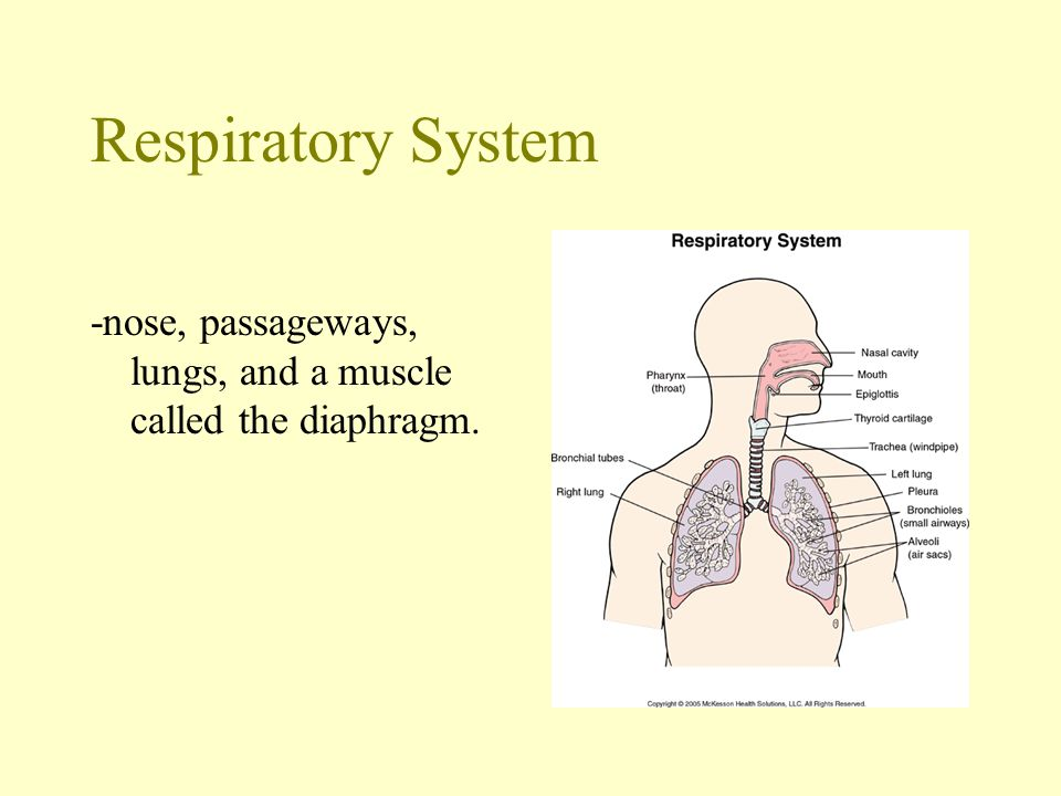 Respiratory System -nose, passageways, lungs, and a muscle called the diaphragm.
