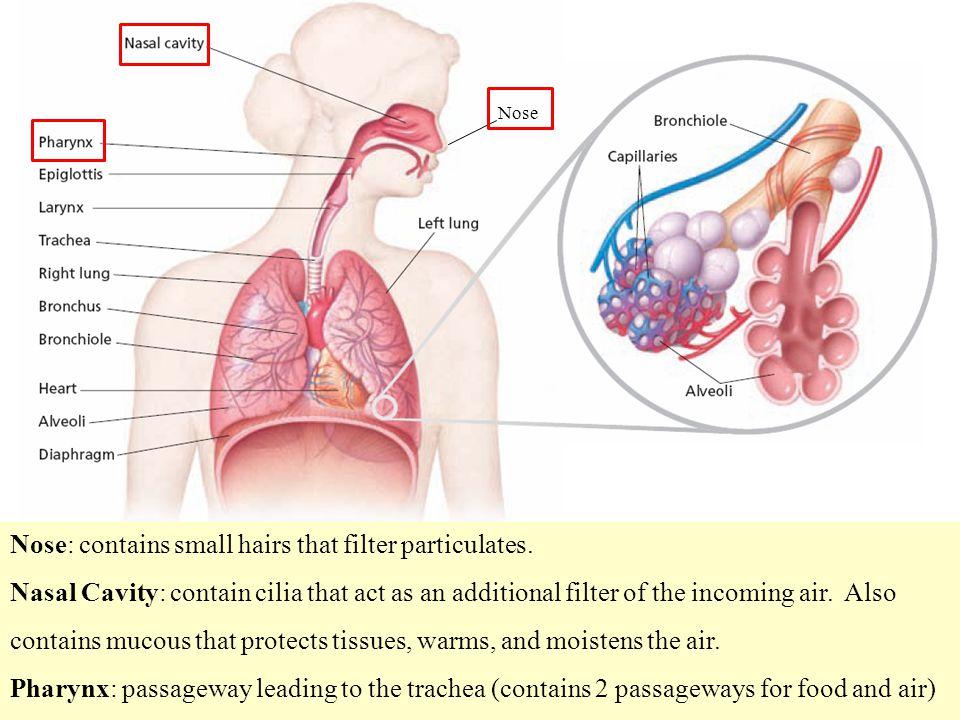 Nose: contains small hairs that filter particulates.