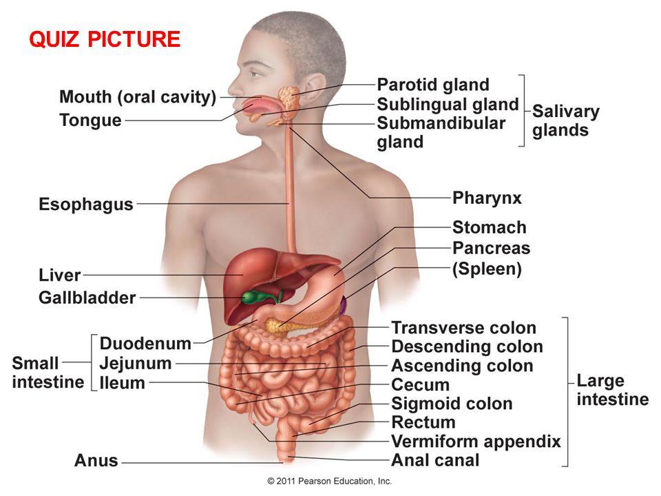 Digestive System Chapter ppt video online download
