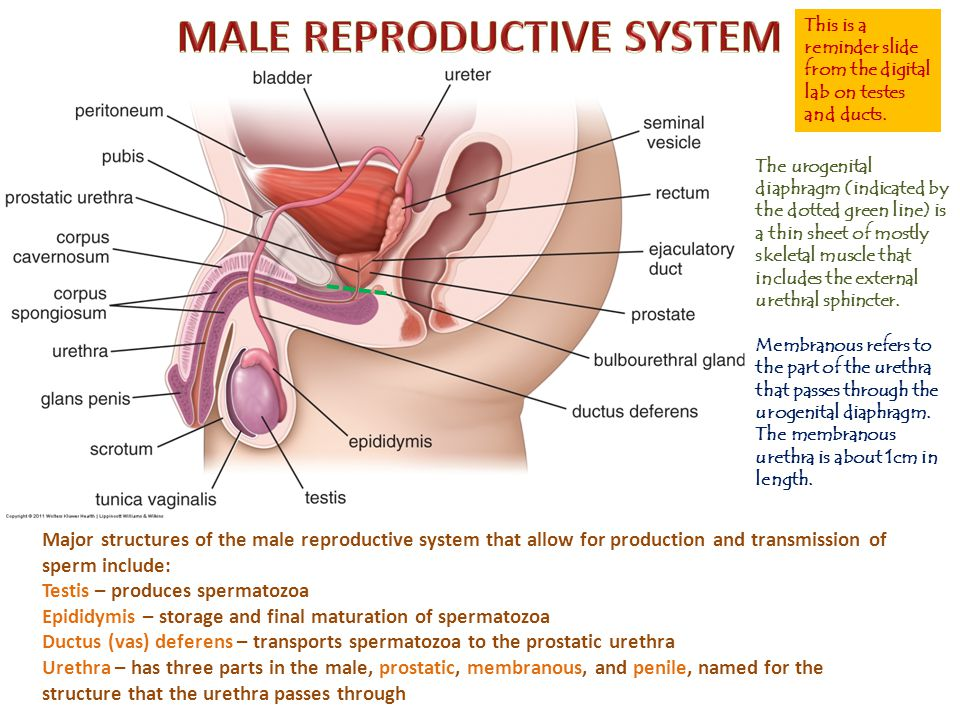 The Perineum And External Genitalia