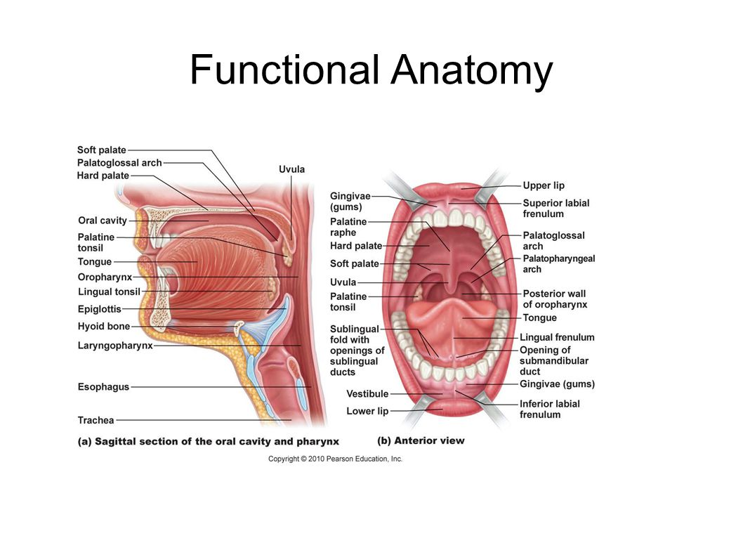 Digestive System Chapter ppt download