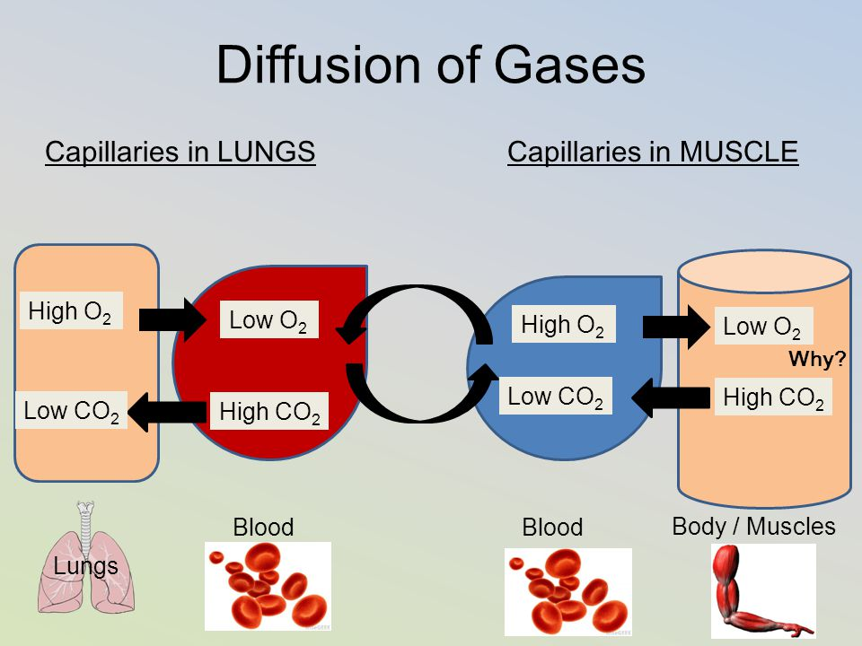 Diffusion of Gases Capillaries in LUNGS Capillaries in MUSCLE High O2