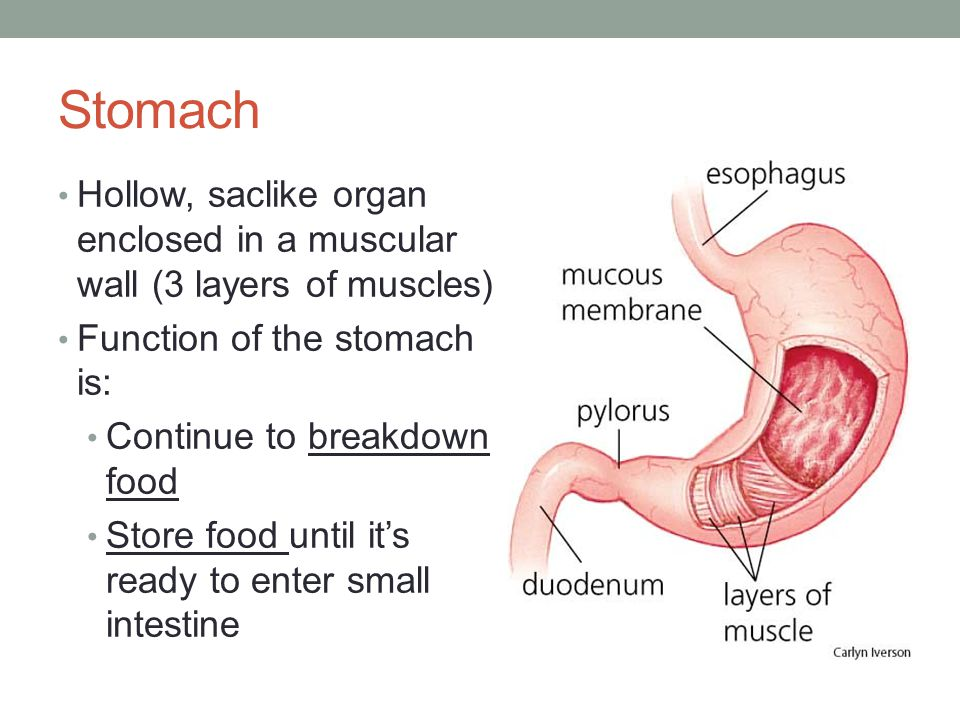 Function Of Stomach In Digestive System Science Inspiration Web ...