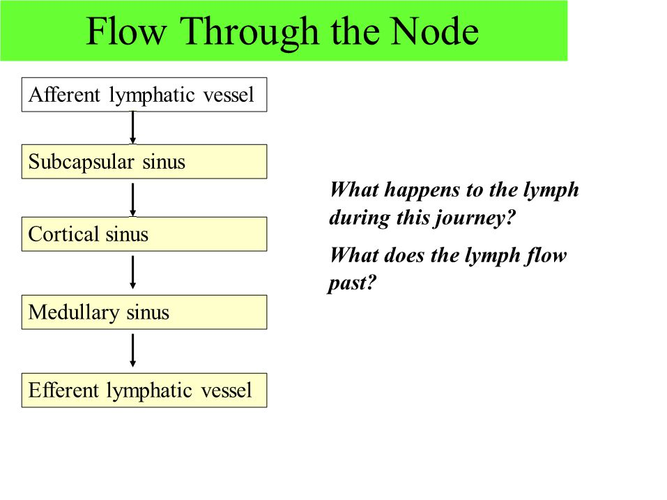 Flow Through the Node Afferent lymphatic vessel Subcapsular sinus