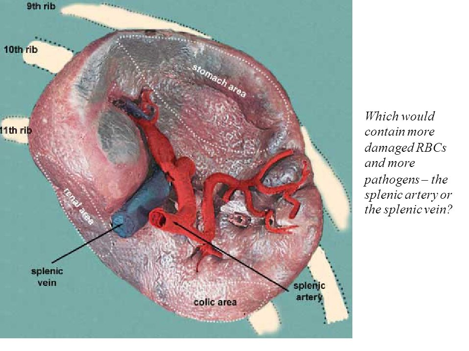 Which would contain more damaged RBCs and more pathogens – the splenic artery or the splenic vein