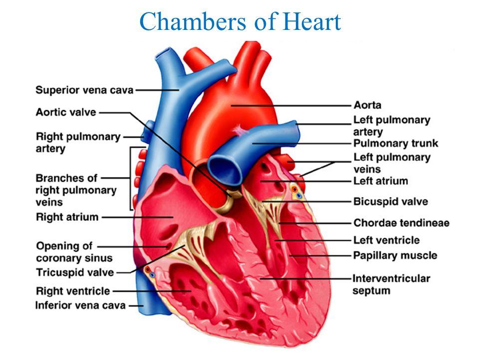 Heart Internal Anatomy Diagram Toyskids