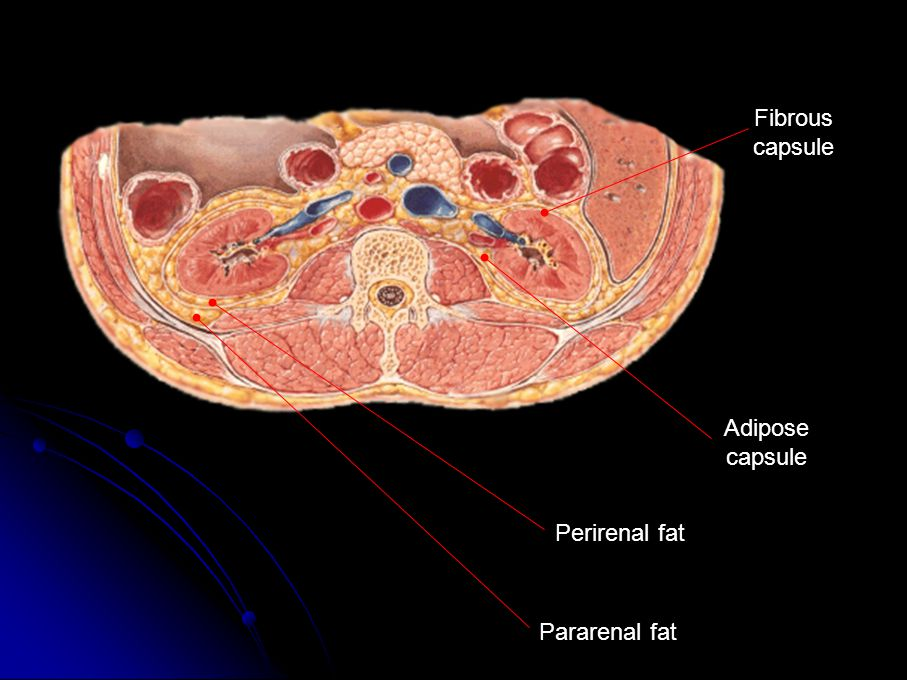 Fibrous capsule Adipose capsule Perirenal fat Pararenal fat