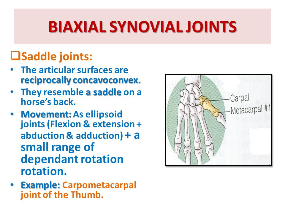 BIAXIAL SYNOVIAL JOINTS