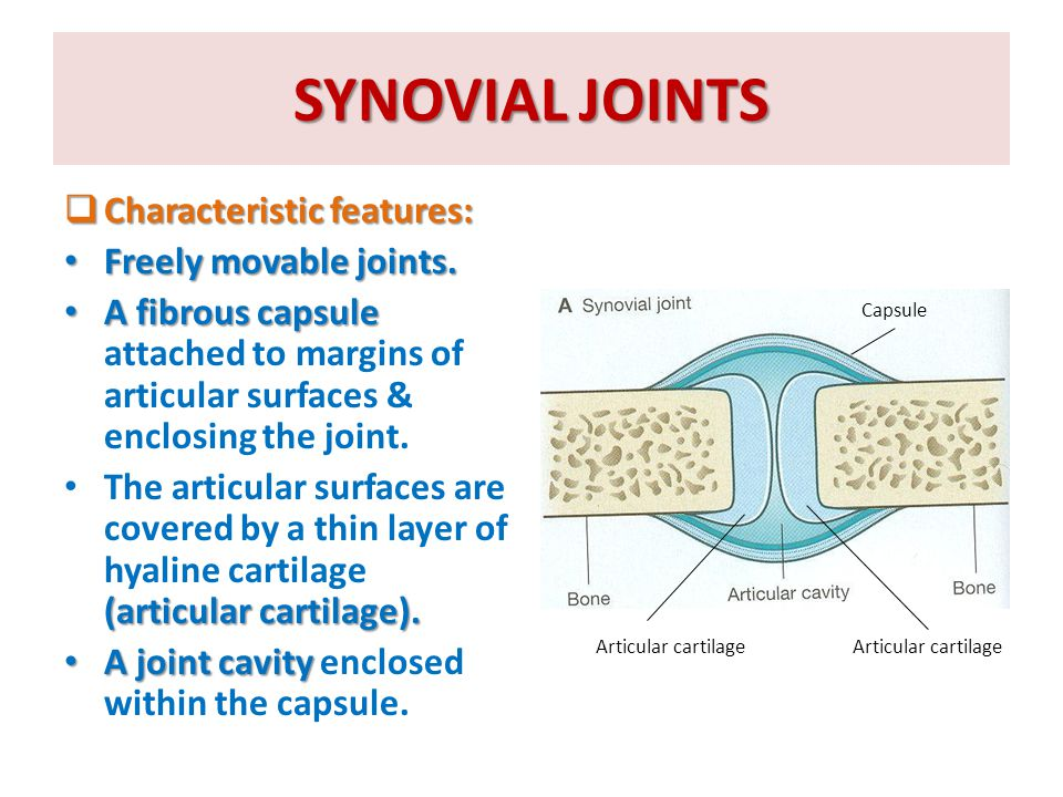 SYNOVIAL JOINTS Characteristic features: Freely movable joints.