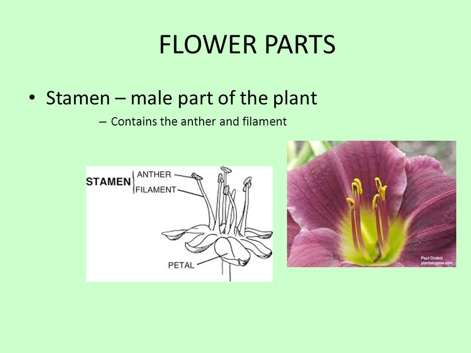 FLOWER PARTS Stamen – male part of the plant