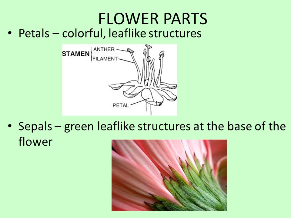 FLOWER PARTS Petals – colorful, leaflike structures