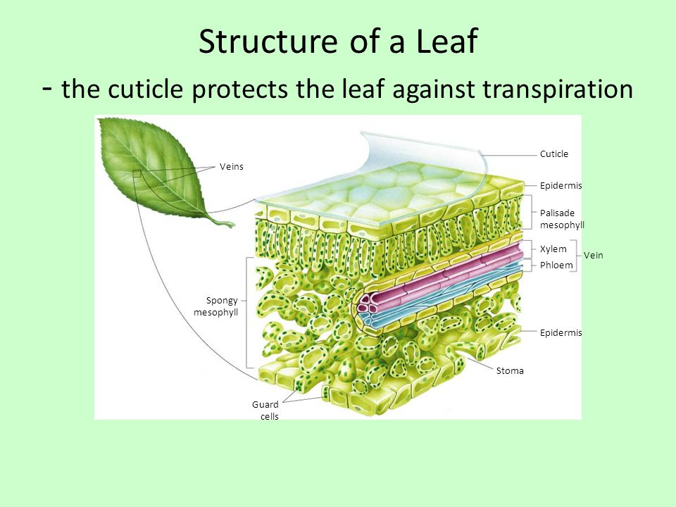 Structure of a Leaf - the cuticle protects the leaf against transpiration