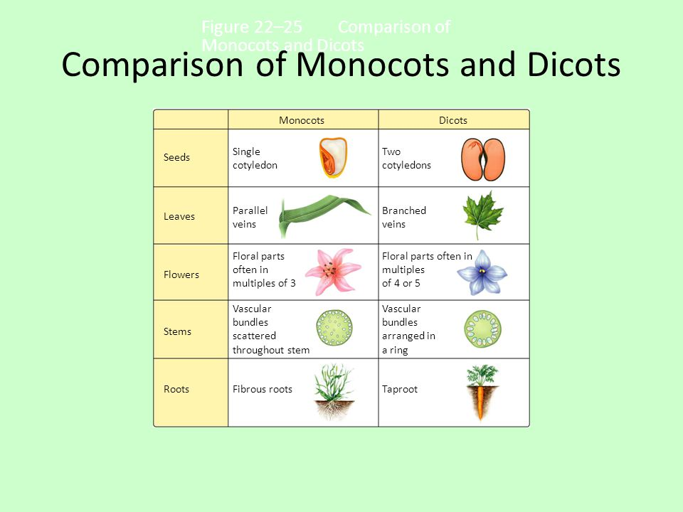 Comparison of Monocots and Dicots