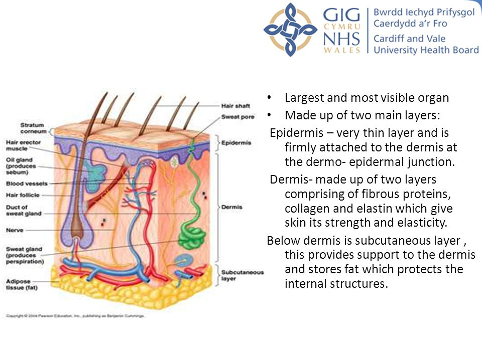 Anatomy Of The Skin Ppt Video Online Download