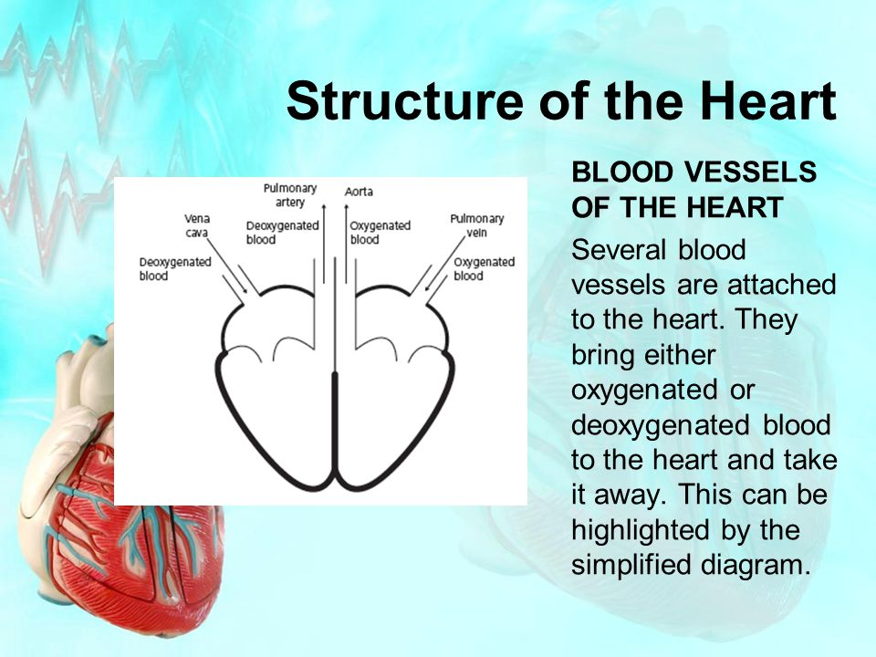 Structure of the Heart BLOOD VESSELS OF THE HEART