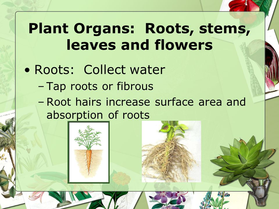 Plant Organs: Roots, stems, leaves and flowers