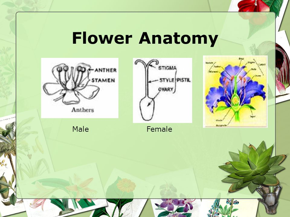 Flower Anatomy Male Female