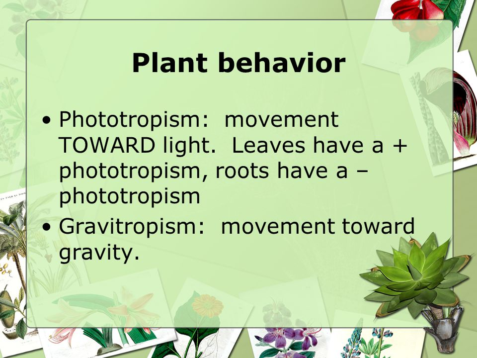 Plant behavior Phototropism: movement TOWARD light. Leaves have a + phototropism, roots have a – phototropism.