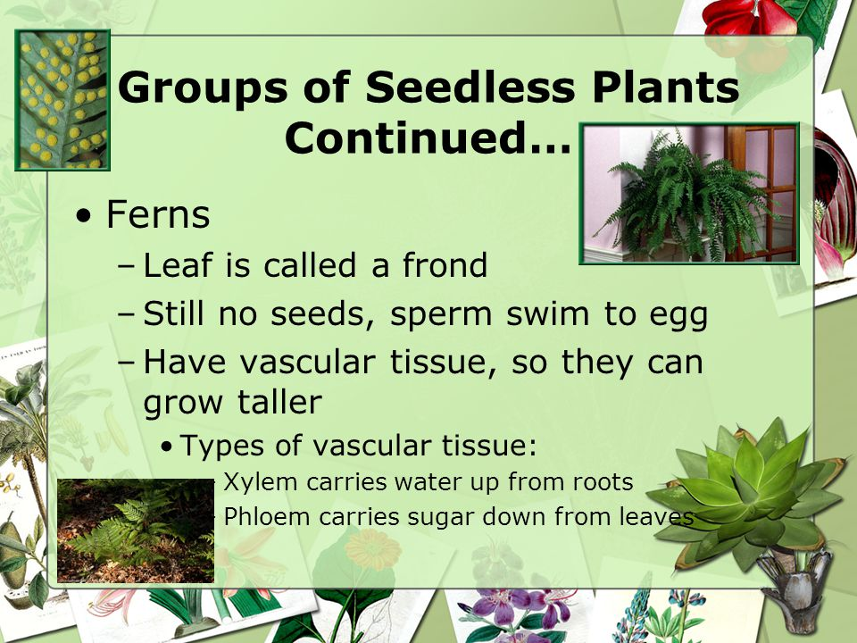 Groups of Seedless Plants Continued…