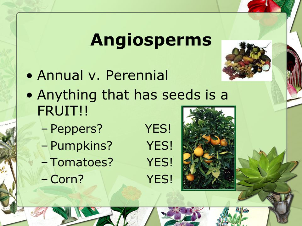 Angiosperms Annual v. Perennial Anything that has seeds is a FRUIT!!