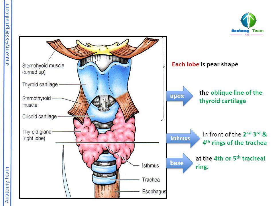 MIDTERM REVISION MCQs (pituitary, thyroid & parathyroid glands ...