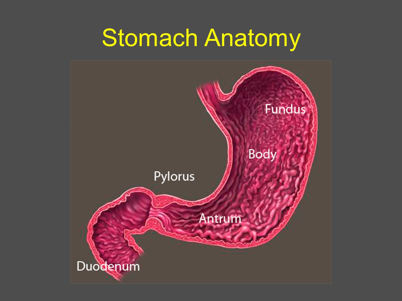 Stomach Anatomy