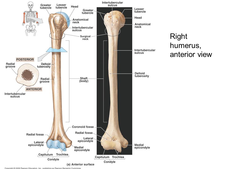 Radiographic Anatomy Of Upper Limb 1 Rad 232 Lecture 2 Ppt Download