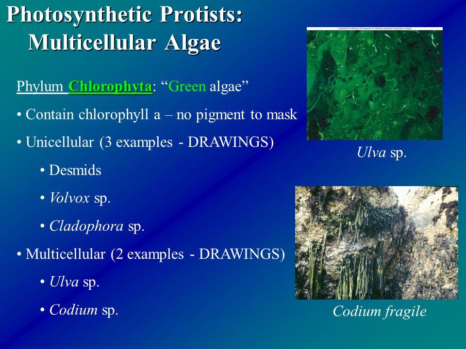 Algae,rhodophyta,phaeophyta,chlorophyta | tutorvista. Com.
