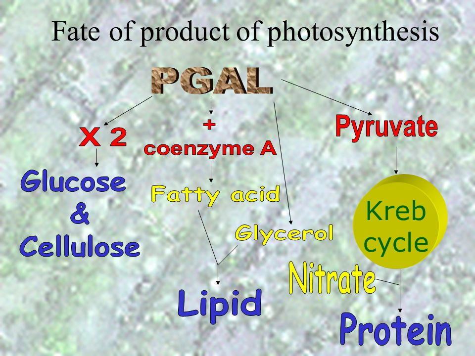 Fate of product of photosynthesis