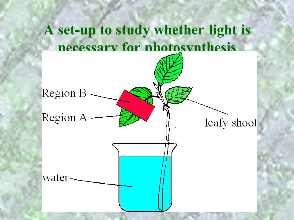 A set-up to study whether light is necessary for photosynthesis