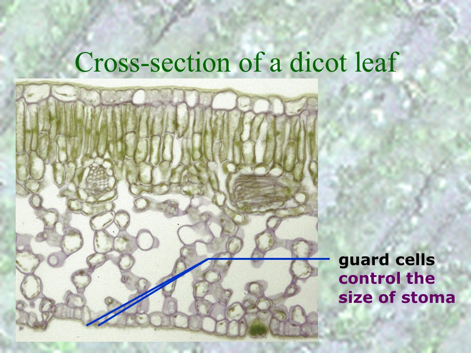 Cross-section of a dicot leaf