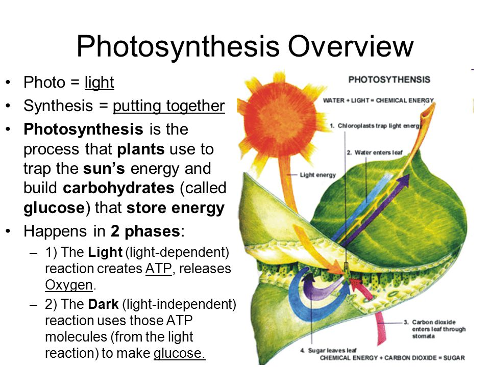 an overview of photosynthesis the nature of light Photosynthesis - occurs in bacteria, algae, stems/leaves of plants jan baptista van helmont - showed that soil didn't add mass to plants believed that water provided the extra mass joseph priestly - found that living vegetation restores oxygen into the air jan ingenhousz - found that plants' green leaves.