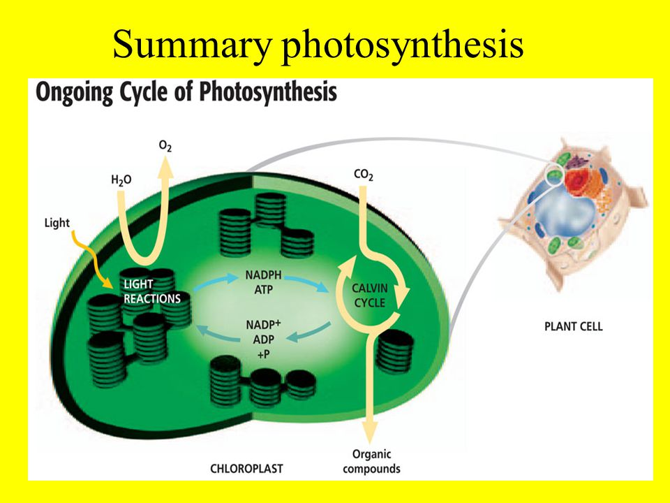 photsynthesis cycle An action spectrum plots the rate of photosynthesis at various wavelengths of visible light, and it shows that blue light with a wavelength of about 490 nm is effective in driving photosynthesis.