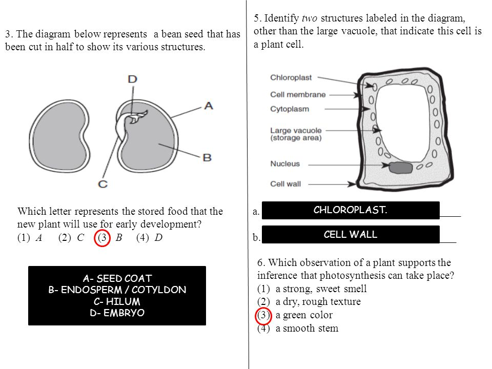 Final review plants 4 the diagram below gives information about 2 b endosperm cotyldon ccuart Choice Image
