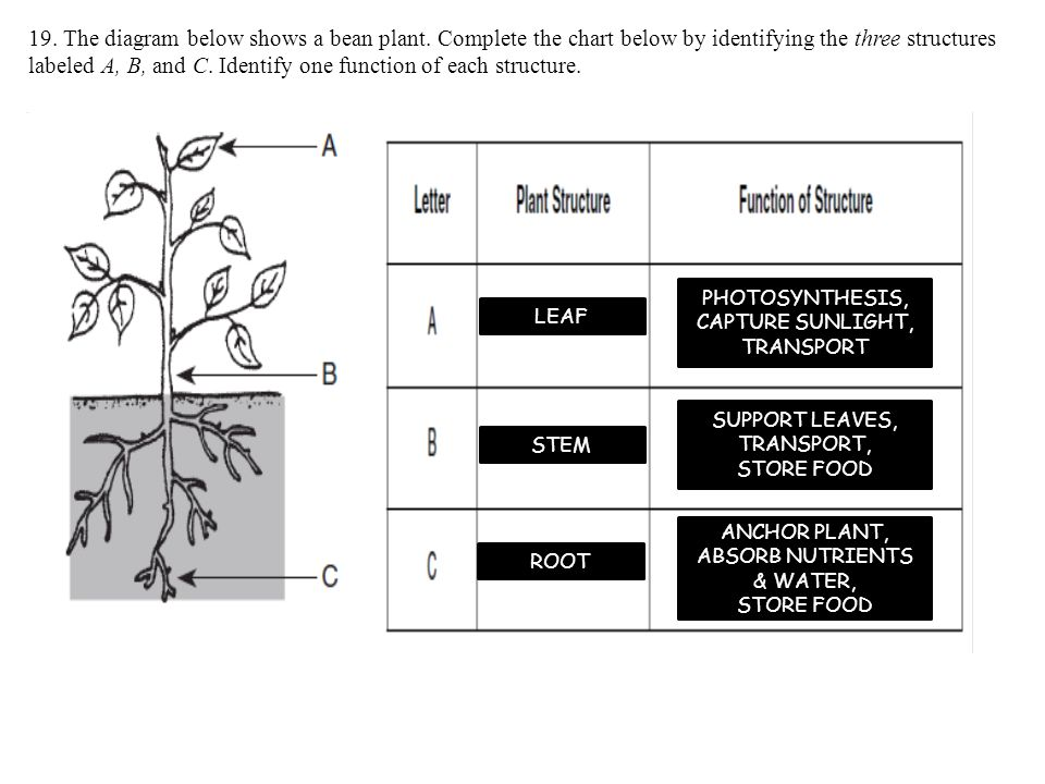 the diagram below shows a bean plant