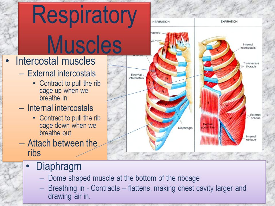 Respiratory Muscles Intercostal muscles Diaphragm