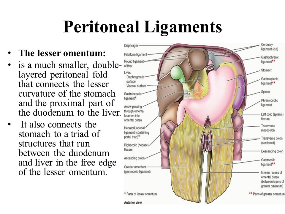 PERITONEUM AND PERITONEAL CAVITY - ppt video online download
