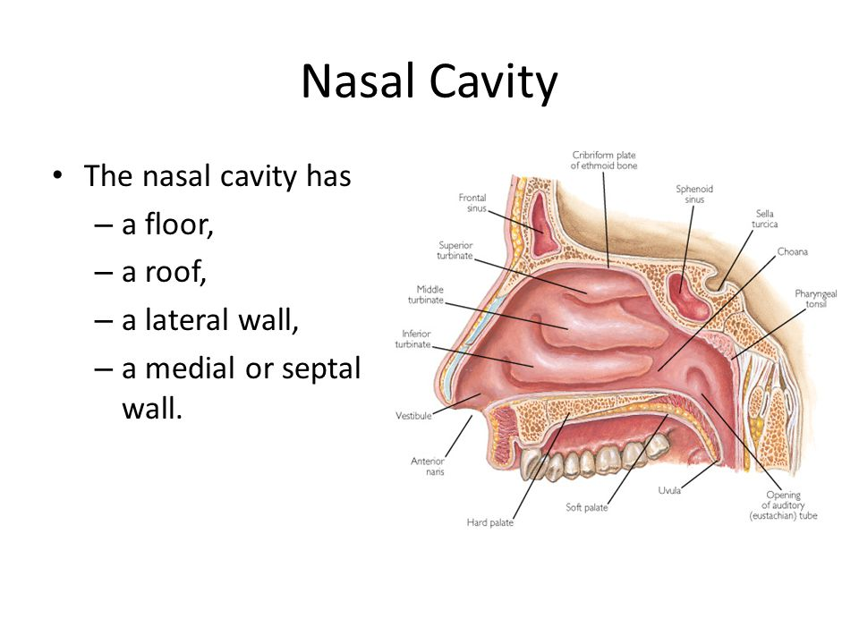Anatomy of Nose and Paranasal Sinus - ppt video online download