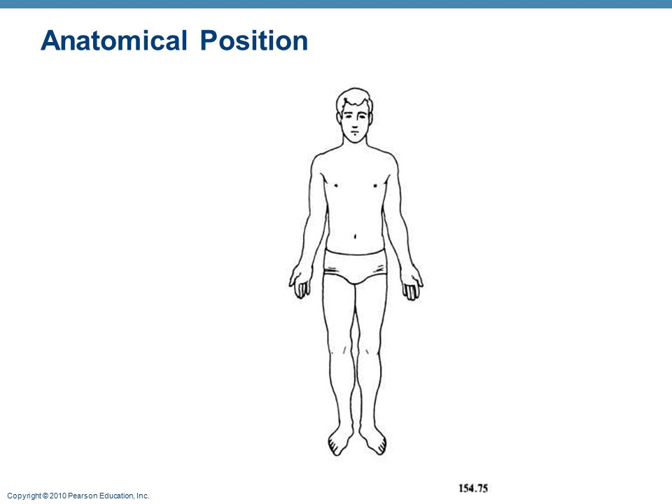Standard anatomical body position: - ppt video online download