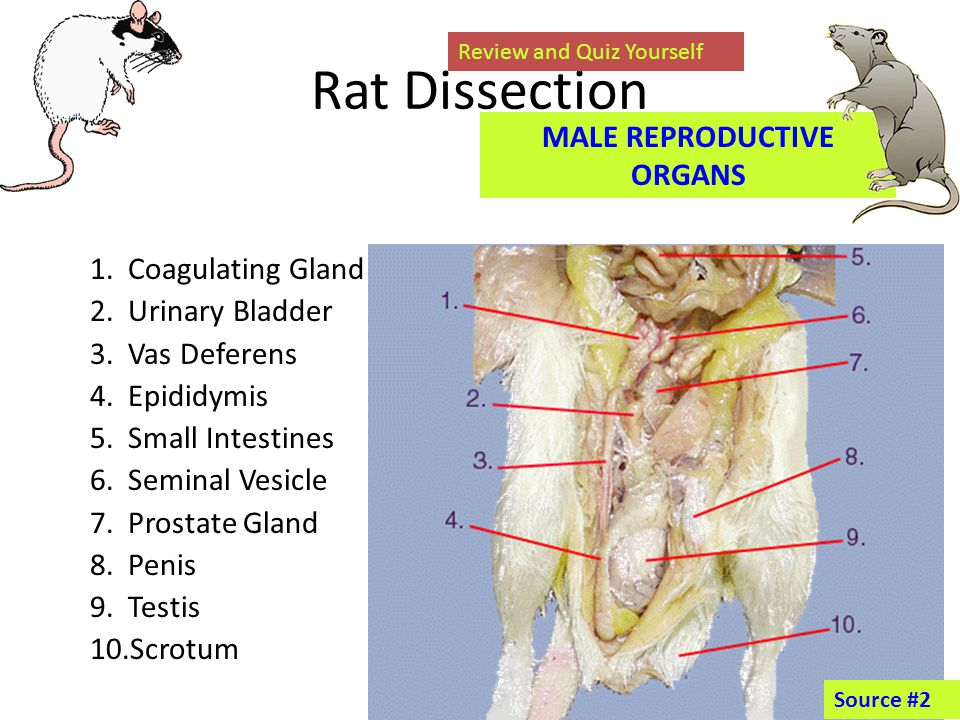 Exelent Male Rat Anatomy Pattern Anatomy And Physiology Biology