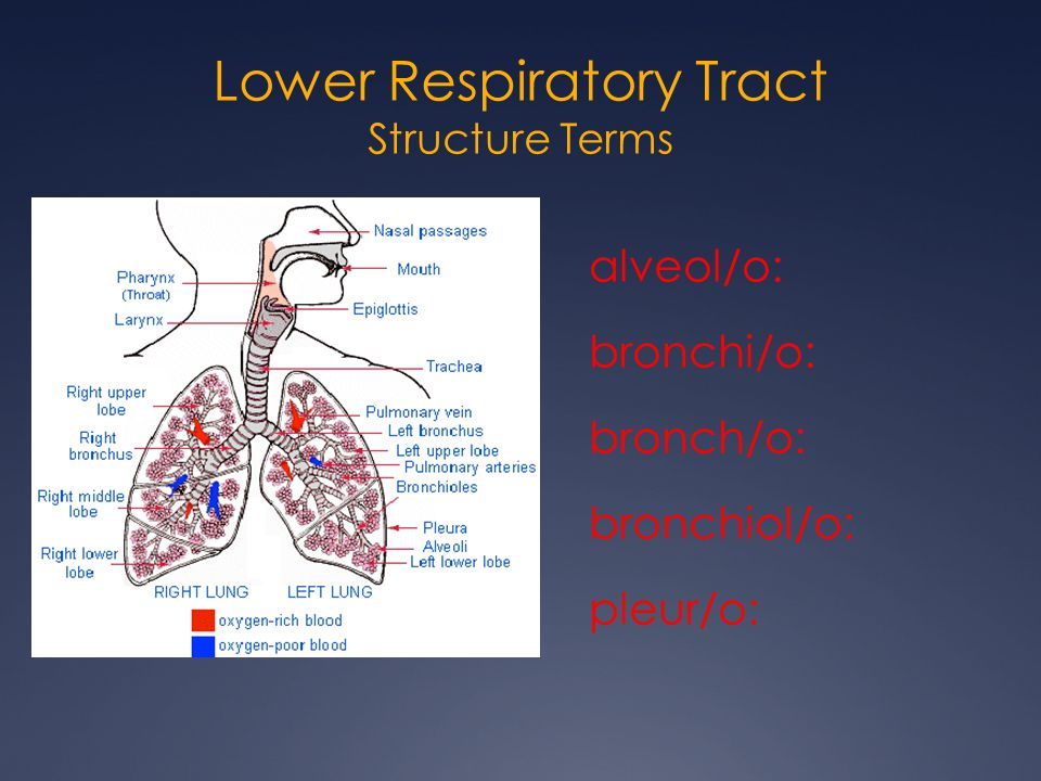 Lower Respiratory Tract Structure Terms