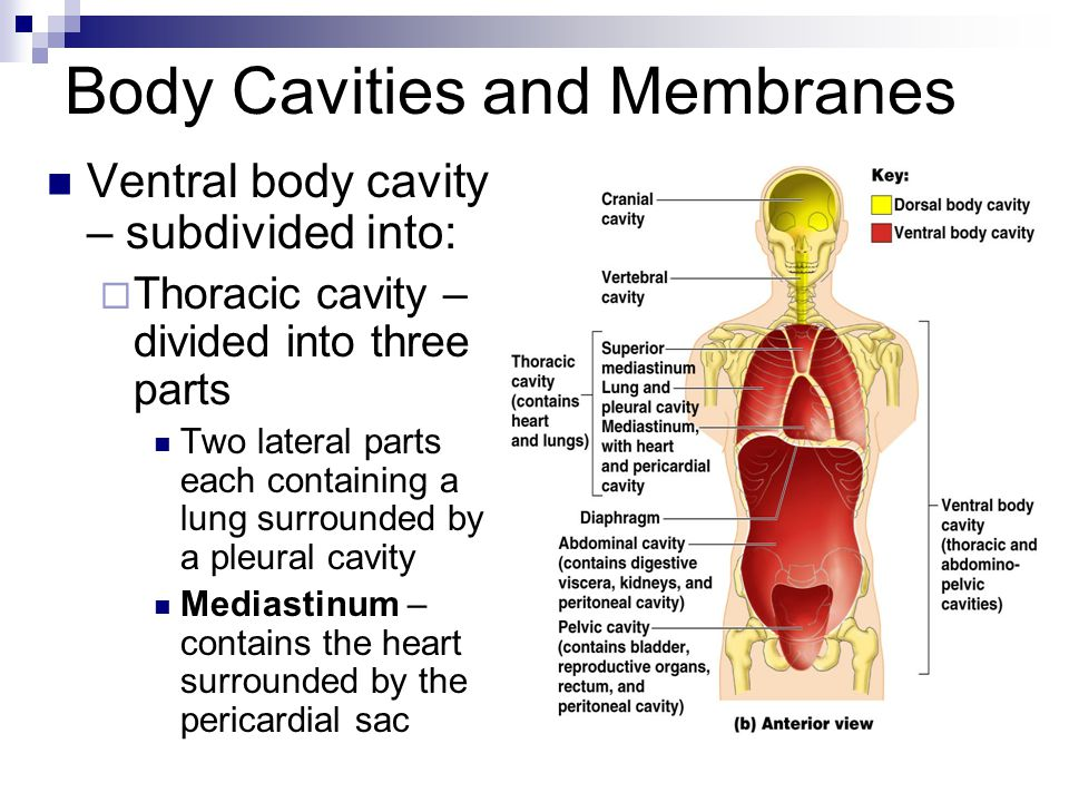 Human anatomy introduction ppt video online download body cavities and membranes ccuart Images