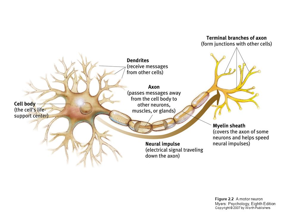 Diagram of a neuron myers complete wiring diagrams neuroscience and behavior ppt video online download rh slideplayer com brain diagram blank neuron diagram ccuart Image collections